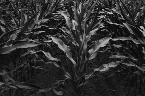 """Corn, Early July Archival Inkjet Print 17 X 22"""", Edition Of 25 (other Sizes Available)"""