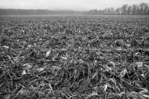 """Corn Field After Harvest Archival Inkjet Print 17 X 22"""", Edition Of 25 (other Sizes Available)"""