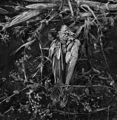 """Dead Crow With Frost Archival Inkjet Print 17 X 22"""", Edition Of 25 (other Sizes Available)"""