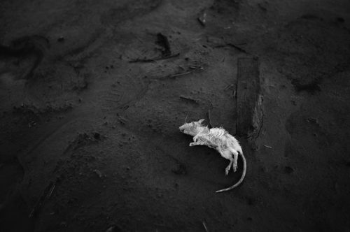"""Dead Mouse Archival Inkjet Print 17 X 22"""", Edition Of 25 (other Sizes Available)"""