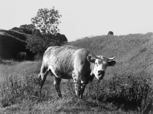 "English Cow Archival Inkjet Print 17 X 22"", Edition Of 25 (other Sizes Available)"