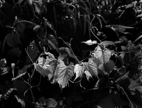 """Leaves In Light Archival Inkjet Print 17 X 22"""", Edition Of 25 (other Sizes Available)"""
