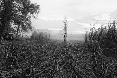 """October Corn, Early Morning Archival Inkjet Print 17 X 22"""", Edition Of 25 (other Sizes Available)"""